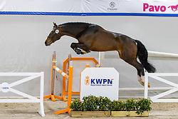 203, Espeshelli<br /> KWPN Hengstenkeuring 2021<br /> © Hippo Foto - Dirk Caremans<br />  03/02/2021