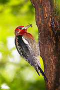 A red-breasted sapsucker (Sphyrapicus ruber) pauses to feed on a wasp that was attracted to the sap oozing from the holes it drilled in an elm tree in Snohomish County, Washington. Sapsuckers drill rows of neat wells in tree bark to collect sap, though they also feed on insects and berries. Other birds, especially hummingbirds, and insects are also drawn to the sap wells.