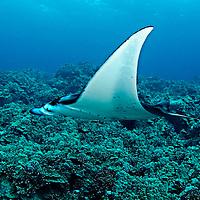 Manta Ray on Reef, Manta birostris, (Walbaum, 1792), Kona, Hawaii