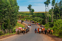 Cattle being herded along the road in Demebecha, Amhara region, Ethiopia.