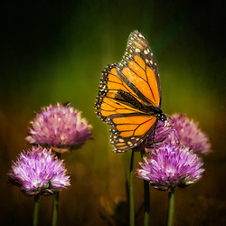 A Monarch Butterfly Rests On Purple Flowering Chives in Evening Light