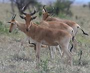 A group of  Coke's hartebeest (Alcelaphus buselaphus cokii) or kongoni. Serengeti National Park, Tanzania.
