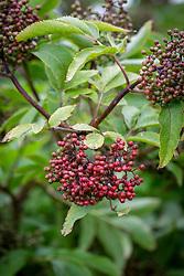 Berries of Sambucus tigranii - very early flowering variety. Elder