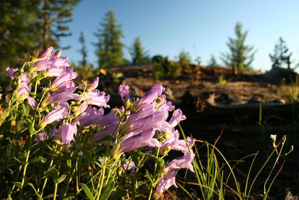 Foxglove flower. Thirteenmile trail (number 23), near Republic. Colville National Forest, Washington.