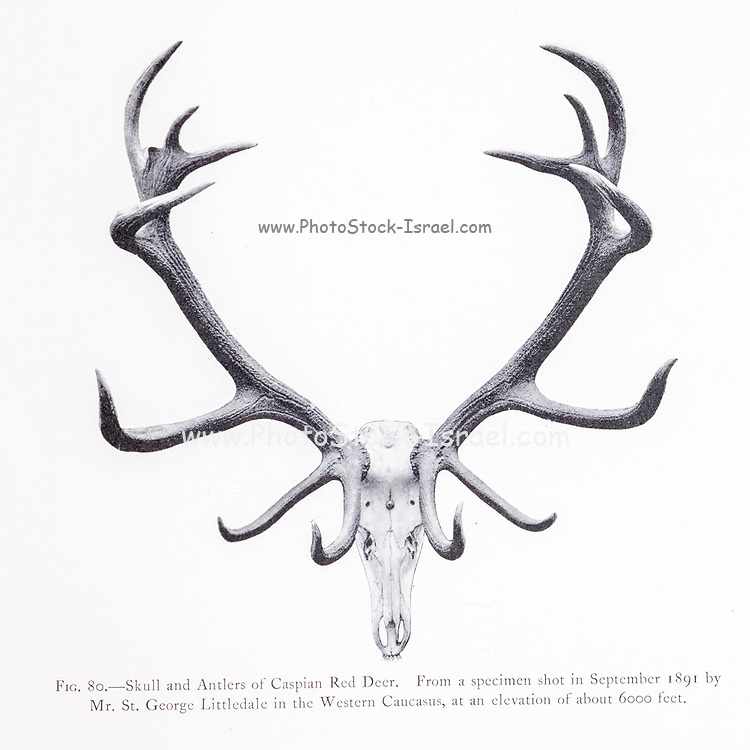 Skull and Antlers of the Caspian Red Deer (Cervus elaphus maral), from the book ' The deer of all lands : a history of the family Cervidae, living and extinct ' by Richard Lydekker, Published in London by Ward 1898