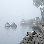 © Licensed to London News Pictures. 01/11/2015. Kingston, UK. Canadian Geese rest in the fog.  Fog along the River Thames in Kingston today, 1st November 2015. Much of the South East of Britain woke to fog this morning. Photo credit : Stephen Simpson/LNP