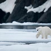A polar bear moves along shore ice. Svalbard, Norway
