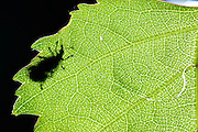 Birch leaf-roller (Deporaus betulae) , The Biosphere Reserve 'Niedersächsische Elbtalaue' (Lower Saxonian Elbe Valley), Germany (sequence 2/8) | Das Weibchen des Birkenblattrollers oder Trichterwicklers (Deporaus betulae) macht einen gezielt geschwungenen Schnitt in ein Birkenblatt, um dies später zur Eiablage kunstvoll einzurollen. Das Männchen hält sich derweil in Paarungsposition an ihr fest um zu verhindern, dass ein Konkurrent sich auch noch mit diesem Weibchen verpaart.