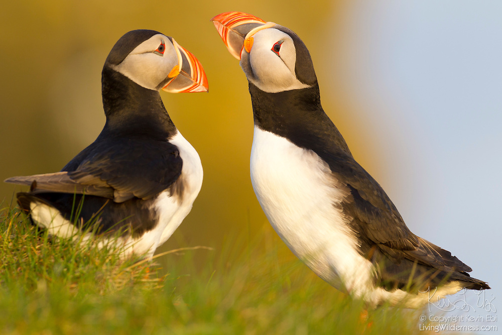An Atlantic puffin (Fratercula arctica) tries to attract a mate on the Látrabjarg bird cliff in Iceland. Látrabjarg is the westernmost point in Europe, and Europe's largest bird cliff.