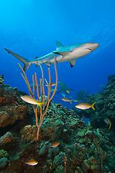 Caribbean Reef Shark, Carcharhinus perezi, swimming over coral reef, West End, Grand Bahama, Atlantic Ocean