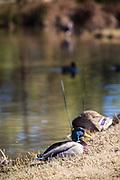 Mallard Duck At El Dorado Regional Park