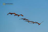 Sandhill cranes in flight in the Flathead Valley, Montana, USA