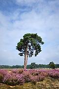 Heide in bloei in het Nationaal Park De Loonse en Drunense Duinen, een natuurgebied in Noord-Brabant.   Heather in bloom in the De Loonse en Drunense Duinen National Park, a nature reserve in North Brabant. -