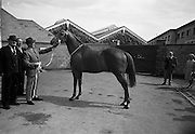 "08/08/1967<br /> 08/08/1967<br /> 08 August 1967<br /> R.D.S. Horse Show, Ballsbridge, Dublin. Winner of the Croker Perpetual Challenge Cup for best weight-carrying thoroughbred stallion, ""Autumn Gold"", 16 years old, property of James Corbett, Carrahan, Ennis, Co. Clare."