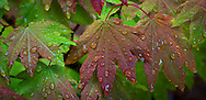 wet vine maple (Acer circinatum) leaves in autumn color in the Washington State Department of Natural Resources (DNR) Tahoma State Forest school trust lands south of Ashford, WA in the Cascade Mountain Range. pan