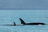 Female Orca (Orcinus orca) with calf in Lynn Canal in Southeast Alaska. Summer. Morning.