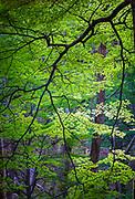 Bright green leaves on tree in El Chalten, Patagonia