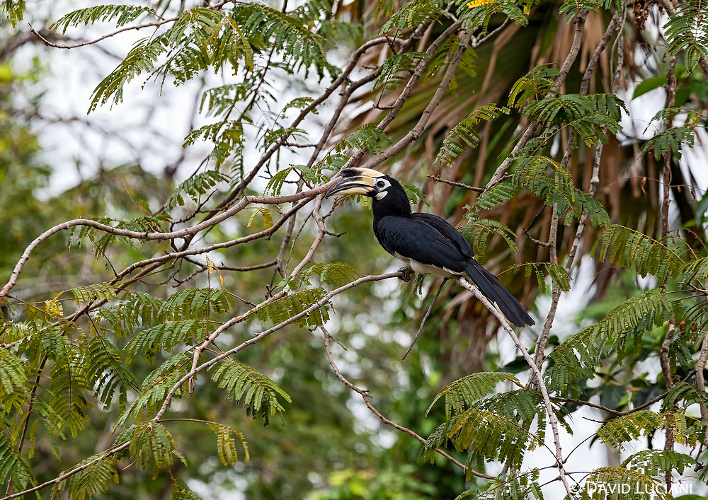 There are over 50 different Hornbill species in the world.13 species have been recorded in Thailand.