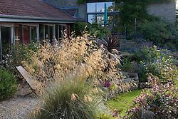 Stipa gigantea backlit by early morning light in Derry Watkins' garden