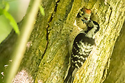 Lesser spotted woodpecker mother (Dendrocopos minor) feeding chick. Surrey, UK.