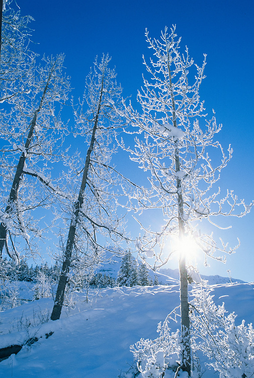 Alaska. Kenai Peninsula. Cottonwood trees. Frosted forest on a clear winter day.