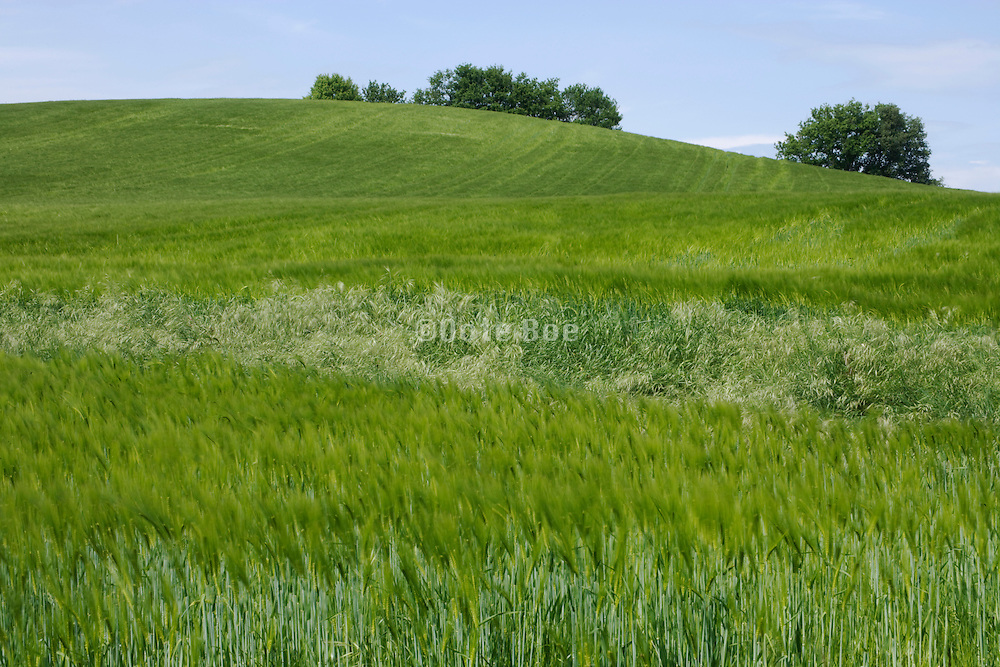 wheat field during spring time in the Languedoc Aude France