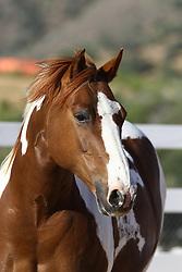 Paint Quarter Pony - Oakley<br /> Sommer Ranch CA<br /> © Hippo Foto - Bob Langrish