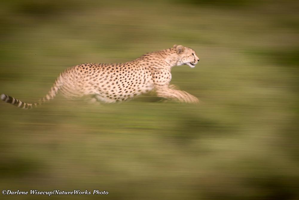 A cheetah, Acinonyx jubatus, on the move in the Ngorongoro Conservation Area, Tanzania
