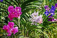 Thailande, Chiang Main, plantation d orchidees //Thailand, Chiang Mai, orchid plantation