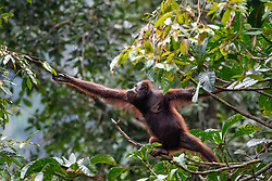 A female orangutan (orang-outan) tries to cross from a tree to other tree in Danum Valley Conservation Area, on August 5, 2019 near Lahad Datu city, State of Sabah, North of Borneo Island, Malaysia. Palm oil plantations are cutting down primary and secondary forests vital as habitat for wildlife including the critically endangered Bornean and Sumatran orangutans. Photo by Emy/ABACAPRESS.COM