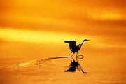 Image of an egret wading at J. N. Ding Darling National Wildlife Refuge, Sanibel Island, Florida, American Southeast by Randy Wells