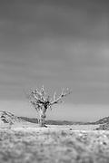 Stricken tree, hoanib river, Skeleton Coast, Northern Namibia, Southern Africa