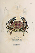 Paraxanthe [Paraxantius] Crustaceans (Crustacea) form a large, diverse arthropod taxon which includes such animals as crabs, lobsters, crayfish, shrimps, prawns, krill, woodlice, and barnacles hand coloured sketch From the book 'Voyage dans l'Amérique Méridionale' [Journey to South America: (Brazil, the eastern republic of Uruguay, the Argentine Republic, Patagonia, the republic of Chile, the republic of Bolivia, the republic of Peru), executed during the years 1826 - 1833] Volume 6 Part 1 (Crustacean). By: Orbigny, Alcide Dessalines d', d'Orbigny, 1802-1857; Montagne, Jean François Camille, 1784-1866; Martius, Karl Friedrich Philipp von, 1794-1868 Published Paris :Chez Pitois-Levrault. Publishes in Paris in 1843