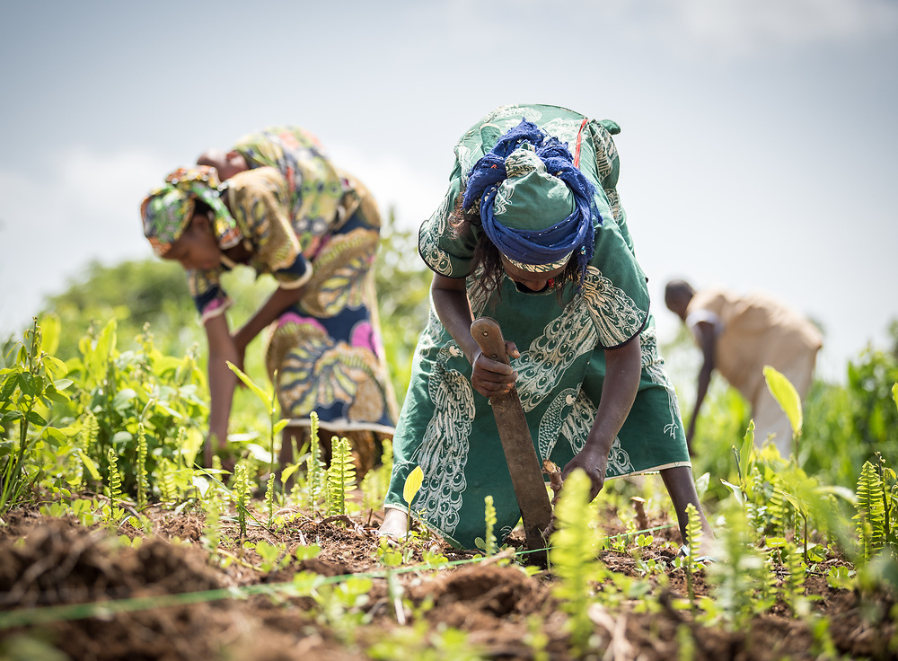 4 June 2019, Meiganga, Cameroon: A group of CAR refugees of the Ngam refugee camp, trained by the Lutheran World Federation in modern farming techniques, work their fields. By keeping a strict ratio of how many seeds to sow per hectare, and by sowing Cassava and Groundnut together, they are able to both increase harvests and retain soil fertility over a longer time. Supported by the Lutheran World Federation, the Ngam refugee camp, located in the Meiganga municipality, Adamaoua region of Cameroon, hosts 7,228 refugees from the Central African Republic, across 2,088 households.