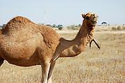 Close up of a camel'