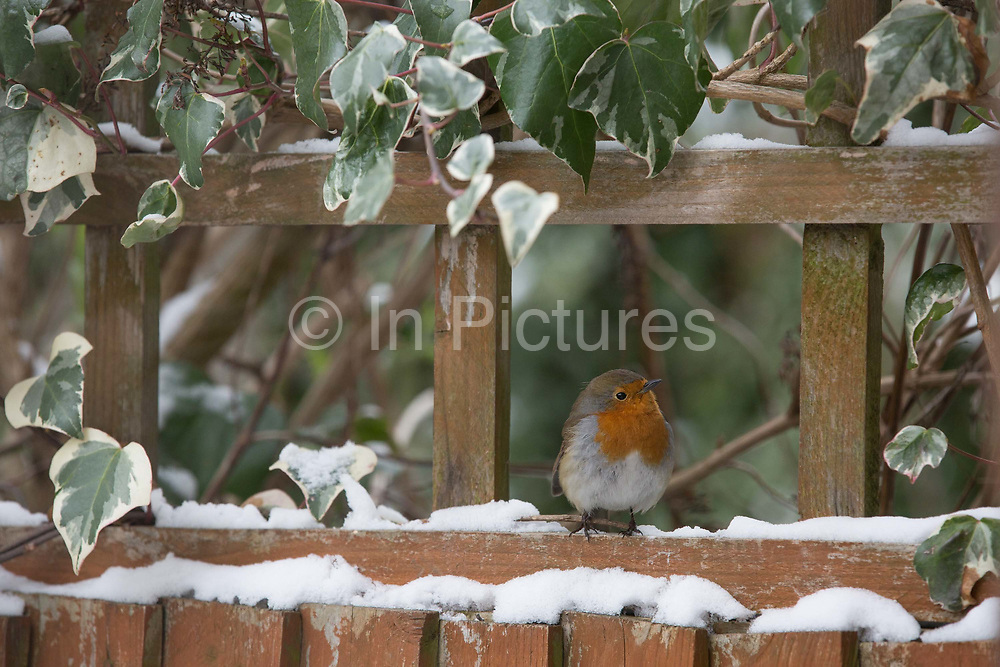 A red breasted robin searching for food in a London garden following recent snow on 18th March 2018 in West Norwood in South London, United Kingdom.