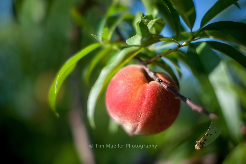 Sunbright variety peaches are the first to ripen at the Mitcham Peach orchard in Lincoln Parish, Louisiana. The orchard is located near the city of Ruston.