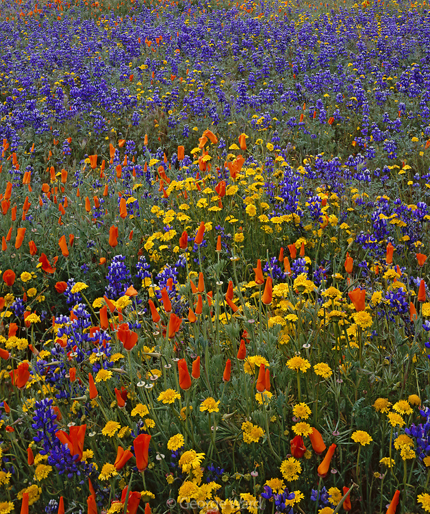 Poppies, Lupine and Goldfields, Carrizo Plain National Monument, California