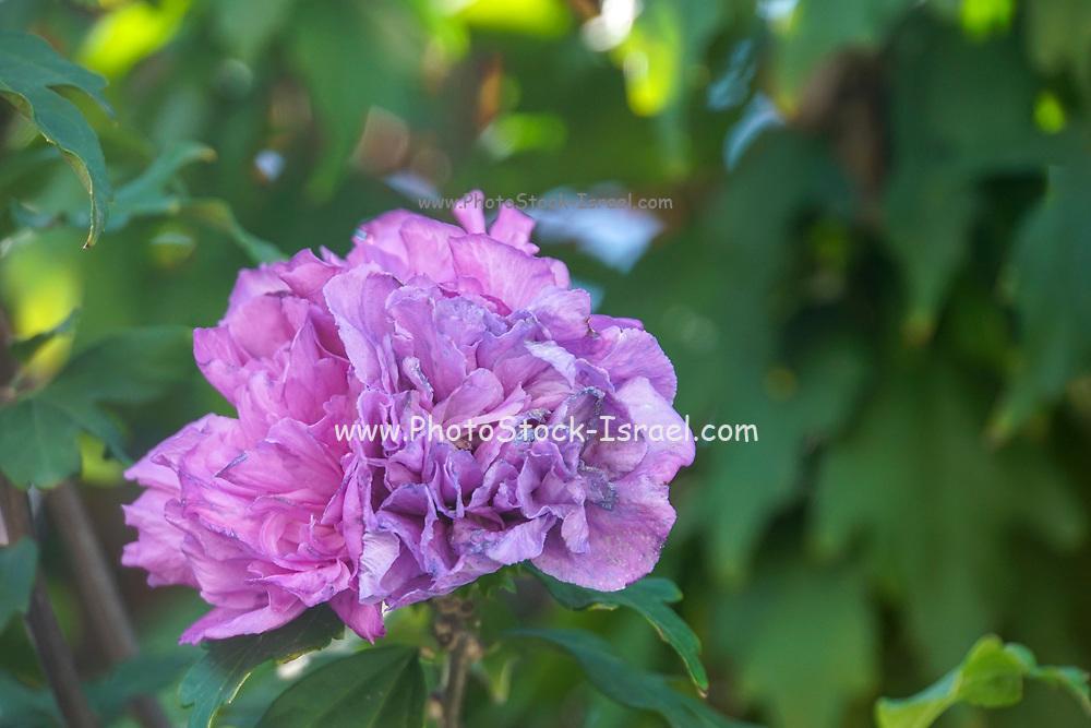 Mauve Dahlia flower head close up