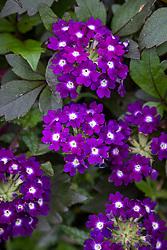 Verbena 'Showboat Dark Violet'