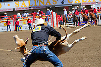 Stren Smith, from Chldress, Texas manhandles a calf in the tie-down competition at the 102nd California Rodeo Salinas, which opened July 19 for a four-day run.