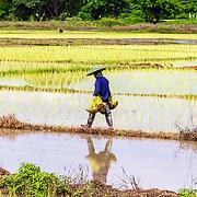 THA/Bangkok/20160729 - Vakantie Thailand 2016 Bangkok, rijstplukker