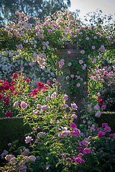 Rosa 'Thelma' on a pergola in The Long Garden at David Austin Roses