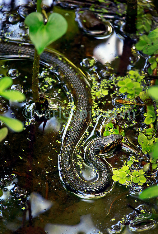 20 April 2014. Barataria Preserve, Louisiana. <br /> Yellow bellied water snake at the Barataria Preserve.<br /> Photo; Charlie Varley