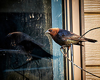 Testosterone Pumped Brown-headed Cowbird and Its Double Reflection in the Early Morning Sun. Image taken with a Fuji X-T1 camera and 100-400 mm OIS lens (ISO 200, 400 mm, f/5.6, 1/56 sec).