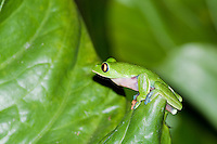 Blue-sided treefrog or coffee frog, Agalychnis annae, an endangered species.  A small population has been established in the gardens of the Hotel Bougainvillea, San Jose, Costa Rica.
