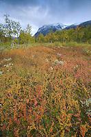 Autumnal boreal vegetation with snow-capped mountain, Sarek National Park, Laponia World Heritage Site, Sweden