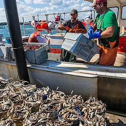 Sternmen Byron Carver (green shirt) and Justin FInkle work aboard Divine Providence at the wharf at Great Wass Lobster in Beals, Maine.