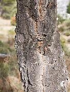 Close up of bark Quercus suber, Cork oak tree, Sierra de Grazalema natural park, Cadiz province, Spain