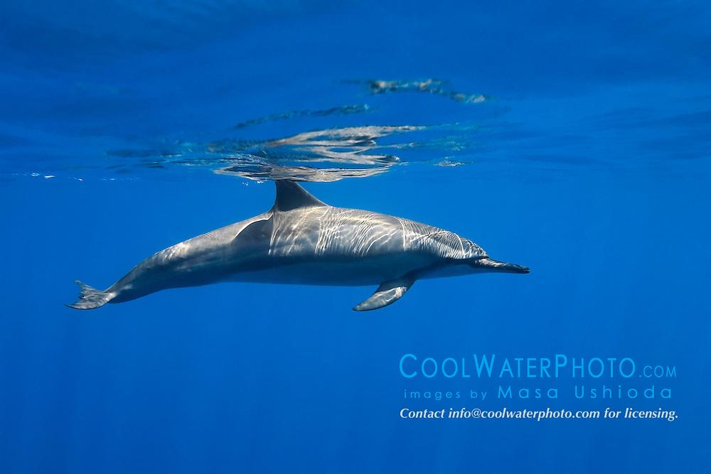 long-snouted spinner dolphin, Stenella longirostris, Kealakekua Bay, Big Island, Hawaii, Pacific Ocean